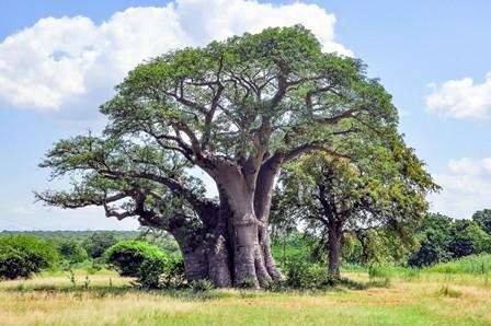 Aceite de baobab organico