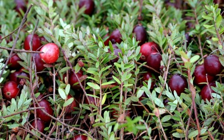 Cranberrysamen Öl Bio 20ml