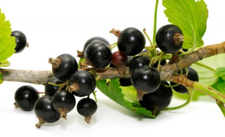 Johannisbeersamen Öl Bio 50ml