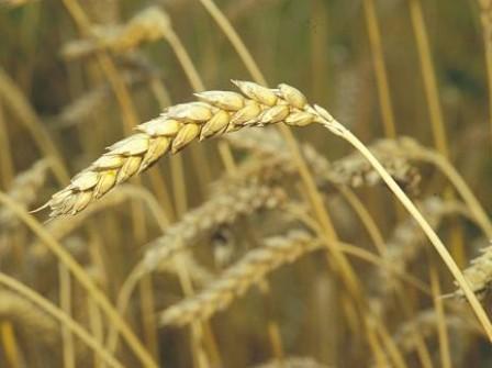 Weizenkeimöl unraff