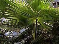Palmöl raff.