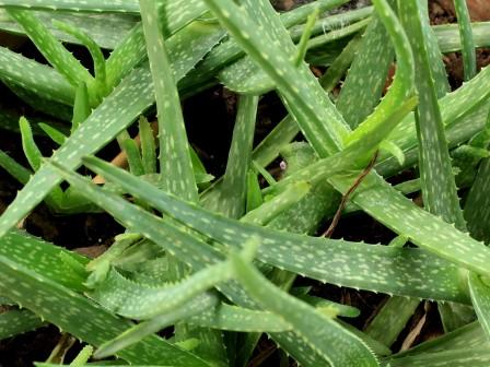 Aceite de Aloe Vera