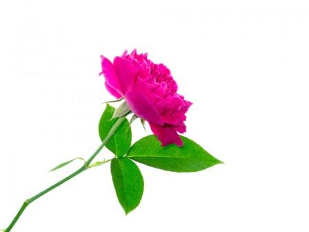 Agua de Rosas Organico