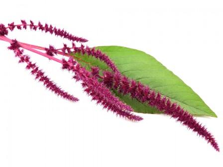 Amaranth Seed Oil Organic