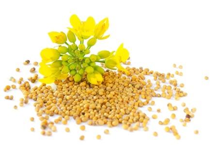 Mustardseed Oil Organic