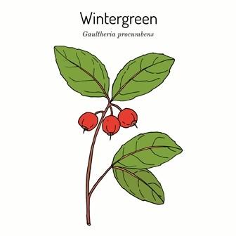 Wintergreen Oil 50ml