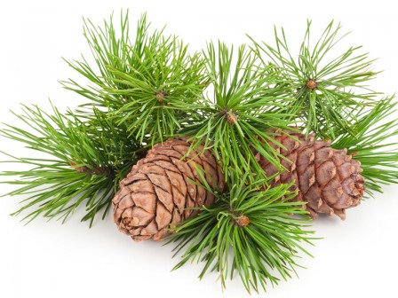 Cedarnut Oil Organic