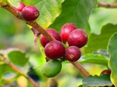 Kaffee Öl geröstet