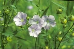 Flaxseed Oil Organic  250ml Edible Oil