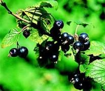Black Currant Seed Oil Organic